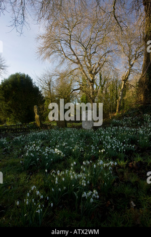 Snowdrops Galanthus nivalis in old churchyard at Turner's Puddle Dorset - Stock Photo