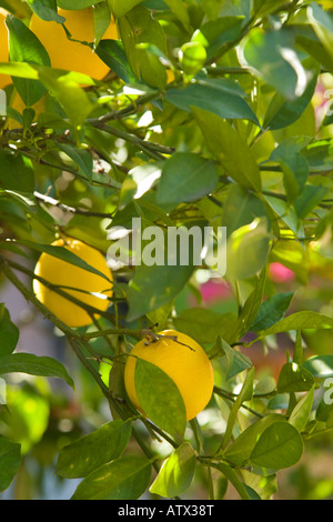 MEXICO Guanajuato Nearly ripe oranges growing on tree in garden ex hacienda de San Gabriel de Barrera - Stock Photo