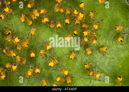Young spiderlings of garden spider (Araneus diadematus) close-up - Stock Photo