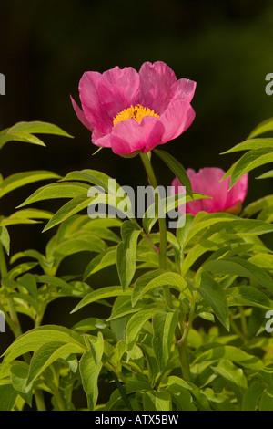 A wild Paeony Paeonia officinalis Julian Alps