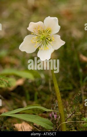 Christmas Rose Helleborus niger A winter flowering hellebore Julian Alps - Stock Photo