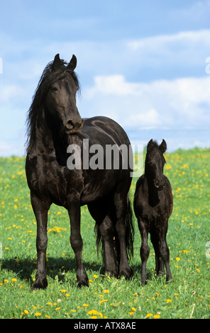Friesian horse - mare with foal on meadow - Stock Photo