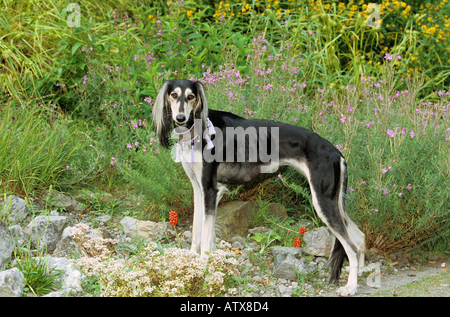 Saluki dog - standing in front of flowers - Stock Photo