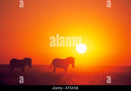two Burchell's Zebras in sunset / Equus burchelli - Stock Photo