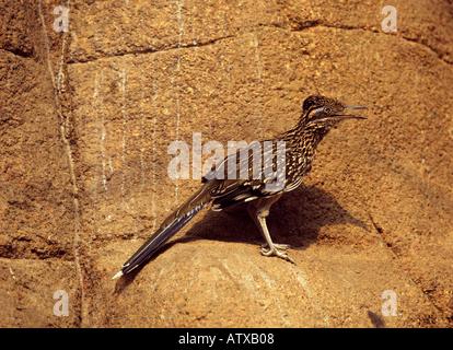lesser Roadrunner - standing on rock / Geococcyx velox - Stock Photo