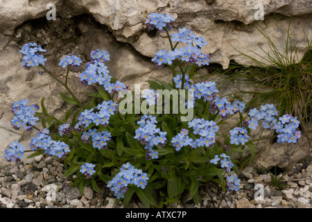 Alpine forget me not Myosotis alpestris in flower Very rare in UK - Stock Photo