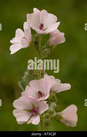 Marsh Mallow (Althaea officinalis) in flower, close-up - Stock Photo