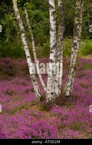 Silver birches (Betula pendula) on heathland, Sologne, France, Europe - Stock Photo