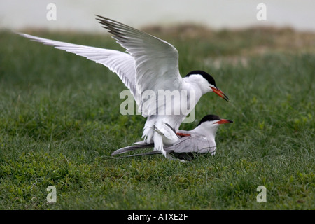 Common Terns mating - Stock Photo