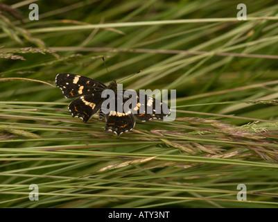 Map Butterfly summer generation Araschnia levana Romania - Stock Photo