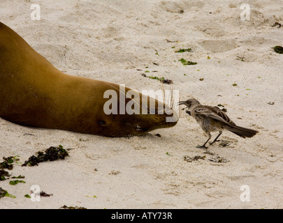 Hood Mockingbirds Nesomimus macdonaldi investigating sea lion on the beach Hood Island Galapagos - Stock Photo