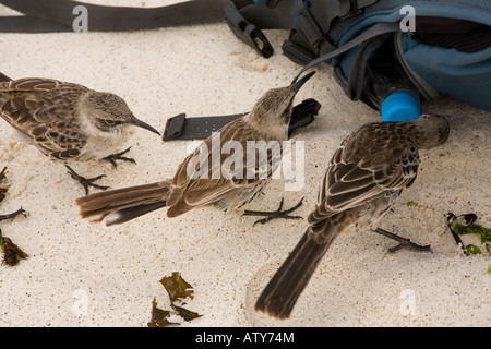Hood Mockingbirds Nesomimus macdonaldi investigating water bottle on the beach Hood Island Galapagos - Stock Photo
