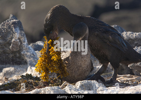 Flightless Cormorant Nannopterum harrisi male bringing seaweed offering to female Fernandina Island Galapagos - Stock Photo