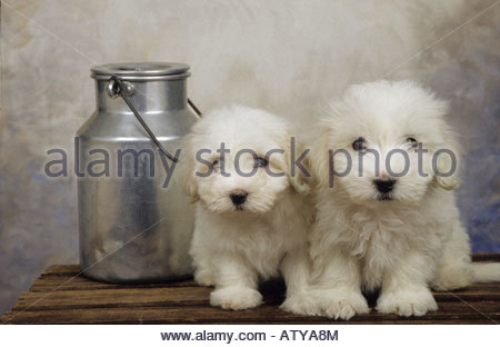 Milk churn with white dogs on a table - Stock Photo