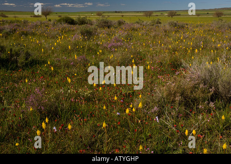 Wet fields full of flowers on Renosterveld a shrubby vegetation type rich in bulbs near Nieuwoudtville Cape South - Stock Photo