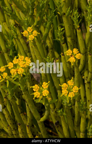 Golden Spurge Euphorbia mauritanica Namaqua desert Cape South Africa - Stock Photo