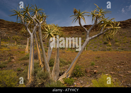 Kokerboom or Quiver Tree Aloe dichotoma forest in a flowery spring on the Bokkeveld plateau Northern Cape South - Stock Photo