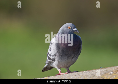 Wood pigeon bird perched on stone close up, sunny landscape in garden - Stock Photo