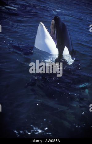 Canada British Columbia Vancouver Island killer whale spy hop - Stock Photo