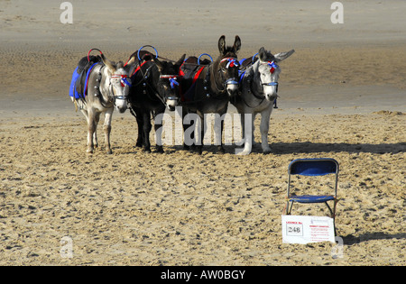 Coated donkeys lined up on Brighton beach waiting to give beach rides - Stock Photo