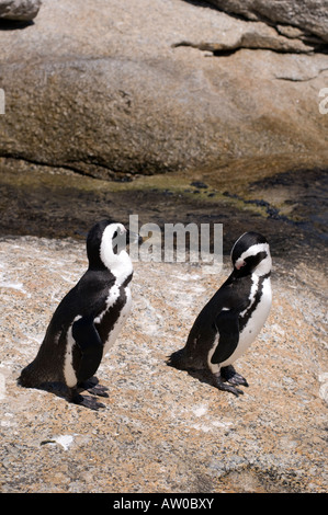 African Penguins at the Boulder Colony on False Bay near Simon s Town South Africa - Stock Photo