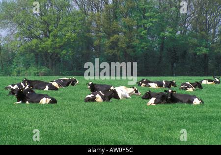Cows lying down in field