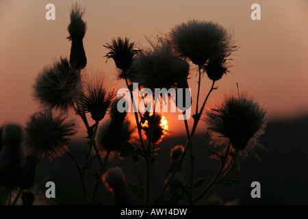 Thistle seed heads against the sunset - Stock Photo