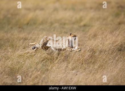 Cheetah (acinonyx jubatus) in full flight - Stock Photo