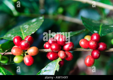 Kaffeebohnen coffee beans Venezuela - Stock Photo