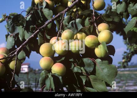 Ripening apricot fruit on the tree near Salerno Italy - Stock Photo