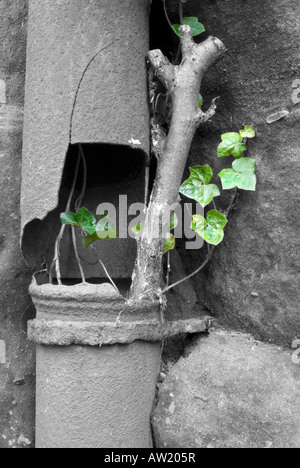 Common ivy Hedera helix growing from pipe - Stock Photo