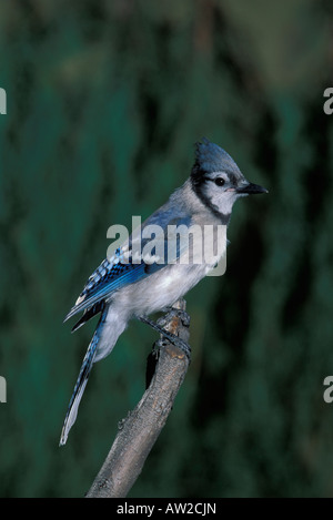 Blue Jay juvenile, Cyanocitta cristata, perched. - Stock Photo