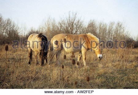 Konik and Przewalski horse as part of landscape conservation project in Leipzig Germany - Stock Photo