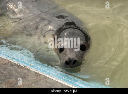 single seal at seal sanctuary Gweek Cornwall UK - Stock Photo