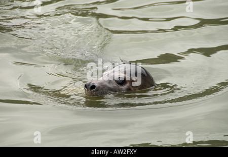 seal at seal sanctuary Gweek Cornwall England UK - Stock Photo