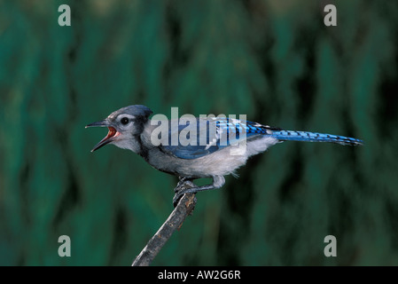 Blue Jay juvenile, Cyanocitta cristata, calling. - Stock Photo