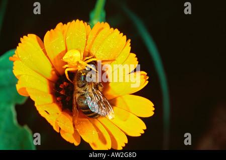 Goldenrod flower crab spider Misumena vatia with honeybee prey - Stock Photo