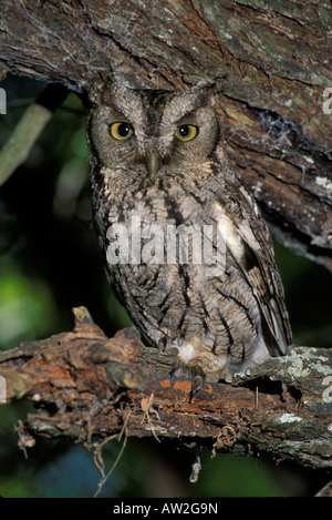 Eastern Screech-Owl, Otus asio, daytime roost. - Stock Photo