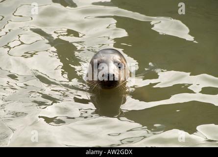 Single seal at Gweek Seal Sanctuary Gweek Cornwall England UK - Stock Photo