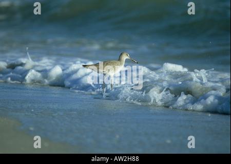 Willet in surf, Bowman's Beach, Sanibel Island, Fla - Stock Photo