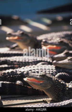 Alligators in zoo in Kissimmee Florida - Stock Photo