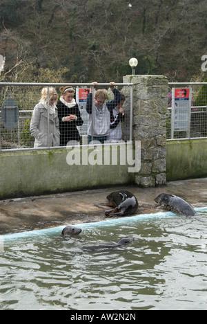 seals at seal sanctuary Gweek Cornwall England UK - Stock Photo