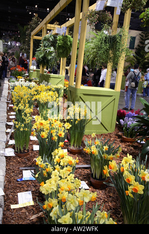 Daffodil  (narcissus) competition display. Mass of different bright yellow and two tone daffodils.   Philadelphia - Stock Photo