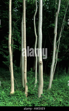 Oak Tree Flower Uk Stock Photos & Oak Tree Flower Uk Stock