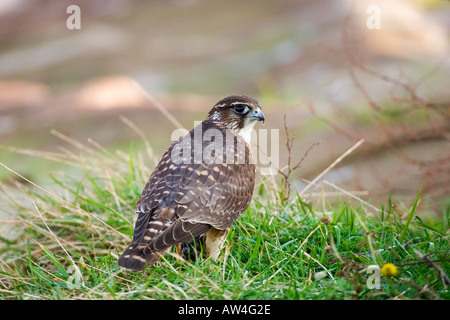 Merlin Falco columbarius just landed with prey on Little Eye Dee Estuary - Stock Photo