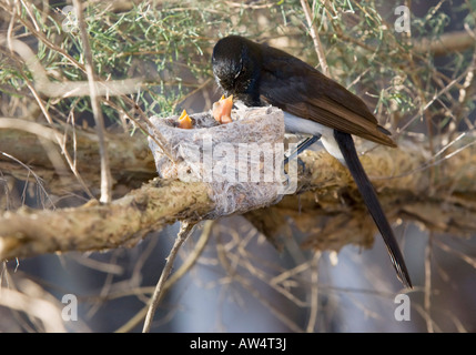 A Willie Wagtail at its nest feeding an insect to its chicks. Herdsman Lake, Perth, Western Australia.