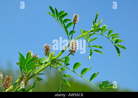 Liquorice, Licorice (Glycyrrhiza glabra), flowering - Stock Photo