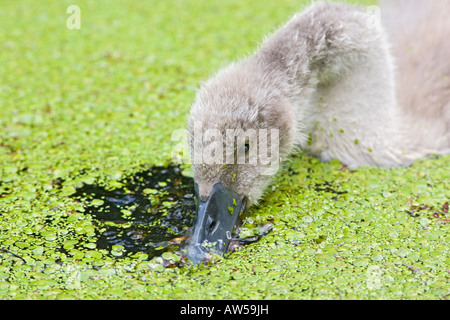 MUTE SWAN CYGNUS OLAR CYGNET FEEDING ON DUCKWEED CLOSE UP - Stock Photo