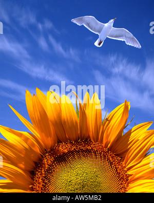 FR - PROVENCE: Sunflower (lat. helianthus) - Stock Photo