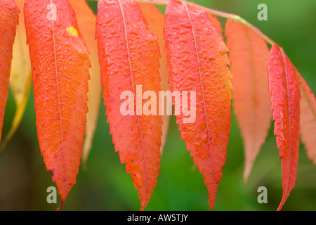 Bright red leaves of Rhus Typhina - Stock Photo